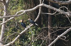 Fantastic beast and where to find them - Rhyticeros undulatus/The wreathed hornbill stock images