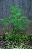 Fantastic and beautiful green plant wild fennel Stock Photo