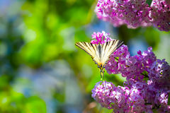 Fantastic bouquet of purple lilac magic swallowtail butterfly. Fantastic bouquet of purple lilac magic swallowtail butterfly on a background of blue sky and stock photography
