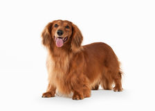 Fantastic Brown dachshund on white background Stock Photo