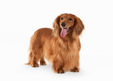 Fantastic Brown dachshund on white background Stock Photos