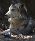 Fantastic Capture of a Timber Wolf Resting. Relaxing timber wolf laying in a pile of leaves stock photo