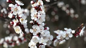 Fantastic cherry flowers on the brunch moving with wind in cloudy spring day. stock footage