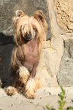Fantastic Chinese Crested Dog in front of wall Royalty Free Stock Image