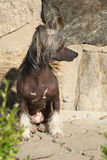 Fantastic Chinese Crested Dog in front of wall Royalty Free Stock Images