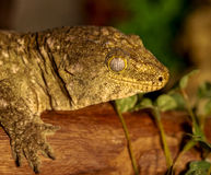 Fantastic close-up portrait of tropical gecko. Selective focus, Royalty Free Stock Photo