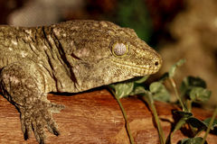 Fantastic close-up portrait of tropical gecko. Selective focus, Stock Image