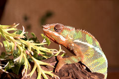 Fantastic close-up portrait of tropical iguana. Selective focus, Stock Image