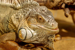 Fantastic close-up portrait of tropical iguana. Selective focus, Royalty Free Stock Image