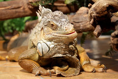 fantastic close-up portrait of tropical iguana. Selective focus, shallow depth of field Royalty Free Stock Image