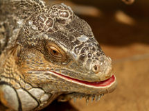 Fantastic close-up portrait of tropical iguana. Selective focus, Royalty Free Stock Images