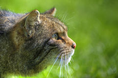Fantastic close up of Scottish wildcat Stock Photo