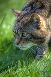 Fantastic close up of Scottish wildcat Stock Photography