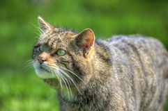 Fantastic close up of Scottish wildcat Royalty Free Stock Photos