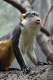Fantastic Close Up of a Wolf`s Guenon Monkey Royalty Free Stock Photos