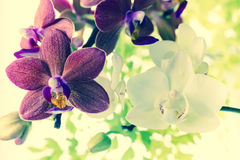 Fantastic deep purple and white of flowers orchid, phalaenosis Royalty Free Stock Photography