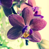 Fantastic deep purple and white of flowers orchid, phalaenosis Stock Images