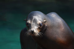 Fantastic Face of a Sea Lion Beside the Water Stock Image