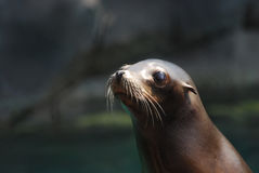 Fantastic Face of a Young Sea Lion Stock Photography