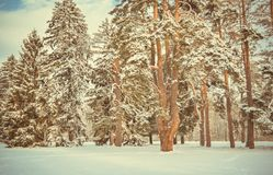 Fantastic Fairytale Magical Landscape View Christmas Tree. Forest Park in Winter on a Sunny Day During a Snowfall. Concept Christmas Winter New Year Scenery royalty free stock photography