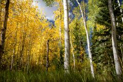 Fantastic fall foliage with gorgeous colors and a variety of trees types- birch, aspen, pine. On a cloudy day royalty free stock photos