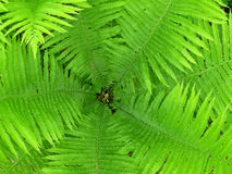 Fantastic Fern Fronds Royalty Free Stock Image