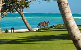 Fantastic Fiji. 2 horses run on the white sand beach at Natandola Bay in Fiji royalty free stock photo