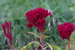 Fantastic flower celosia Stock Photo