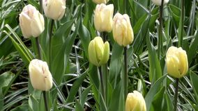 Fantastic Flowers - Tulips Planted in the Park. The Action in Windy Weather stock video footage