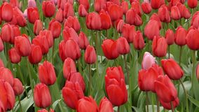 Fantastic Flowers - Tulips Planted in the Park. The Action in Windy Weather stock video