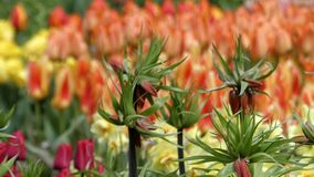 Fantastic Flowers - Tulips Planted in the Park. Focusing. stock video