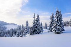 Fantastic fluffy Christmas trees in the snow. Postcard with tall trees, blue sky and snowdrift. Winter scenery in the sunny day. Mountain landscapes stock photography