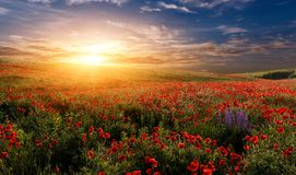 Fantastic foggy sunset at the poppies meadow. majestic rural landscape royalty free stock photos
