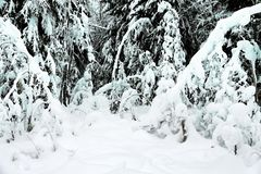 Fantastic forest after many days of snowfall. Fantastic forest after many days of snowstorm, snowpack. Snow-caps, blanket of snow on trees and shrubs, unusual stock image