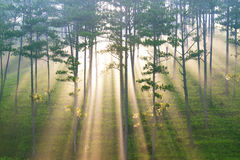 Fantastic forest in sunlight and ray Royalty Free Stock Image