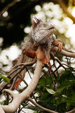 Fantastic gray iguana clamber in the top of a bush. Royalty Free Stock Image