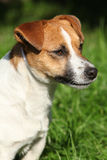 Fantastic Jack Russel terrier in the garden Stock Image