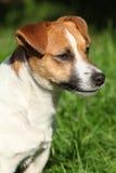 Fantastic Jack Russel terrier in the garden Stock Image