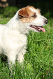 Fantastic Jack Russel terrier in the garden Royalty Free Stock Photography