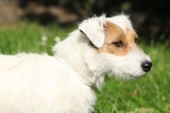 Fantastic Jack Russel terrier in the garden Royalty Free Stock Photos