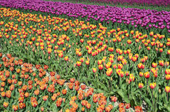 Fantastic landscape with colorful flowers tulips Stock Photos