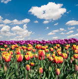 Fantastic landscape with colorful flowers tulips against the sky. (relaxation, meditation, stress reduction, background - concept Royalty Free Stock Photography