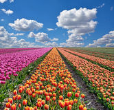 Fantastic landscape with colorful flowers tulips against the sky Stock Photo