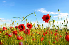 Fantastic landscape with poppies in the field against the sky Royalty Free Stock Photo