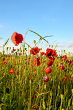 Fantastic landscape with poppies in the field against the sky in Royalty Free Stock Images