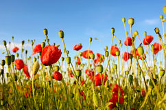 Fantastic landscape with poppies in the field against the sky in Stock Photos