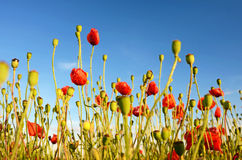 Fantastic landscape with poppies in the field against the sky in Stock Images