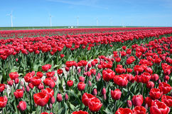 Fantastic landscape with windmills and tulip field in Netherlands stock photography