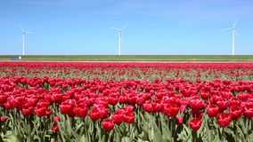 Fantastic landscape with windmills and tulip field in Netherlands. Full HD video (High Definition). Fantastic landscape with windmills and tulip field in stock footage