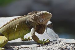 A Fantastic Look at a Common Iguana Royalty Free Stock Image